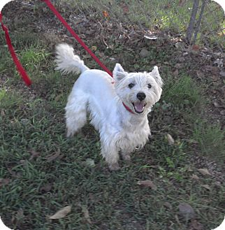 Westie, West Highland White Terrier Dog for adoption in Geneseo, Illinois - Sparky