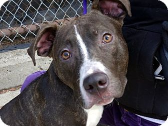 American Staffordshire Terrier Mix Dog for adoption in Long Beach, New York - Iggy