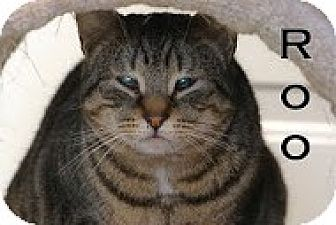 Domestic Shorthair Kitten for adoption in Union Lake, Michigan - Roo >^.,.^< $50 adoption