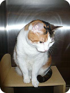 Calico Cat for adoption in Colmar, Pennsylvania - Joni
