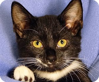 Domestic Shorthair Cat for adoption in Renfrew, Pennsylvania - Baker