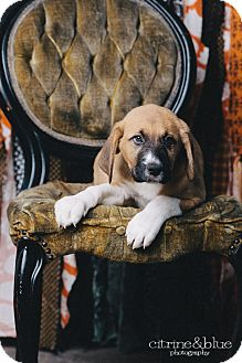 Black Mouth Cur/Boxer Mix Puppy for adoption in Portland, Oregon - Ted Danson