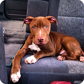 Pit Bull Terrier Mix Puppy for adoption in Franklin, Indiana - Francis