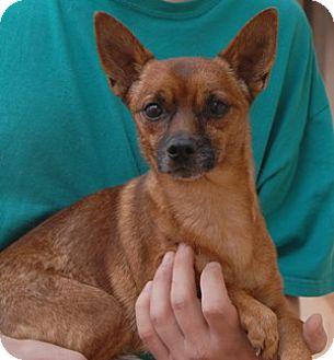 Chihuahua Mix Dog for adoption in Las Vegas, Nevada - Oscar