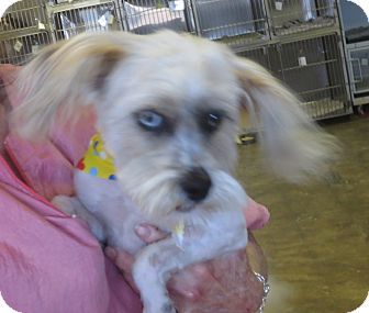 Lhasa Apso Mix Dog for adoption in Lubbock, Texas - Wiggles