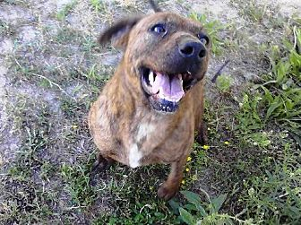 Plott Hound Mix Dog for adoption in Smithfield, North Carolina - Brinda (Brynnie)