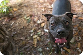 Bulldog/Labrador Retriever Mix Dog for adoption in Palmetto Bay, Florida - Luna