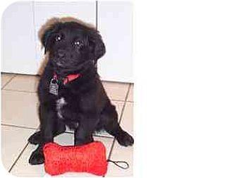 Labrador Retriever Mix Puppy for adoption in Kirkland, Quebec - Bram