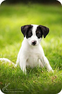 Border Collie Mix Puppy for adoption in Corning, California - SNOOPY