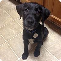 Adopt A Pet :: Apollo - Knoxville, TN