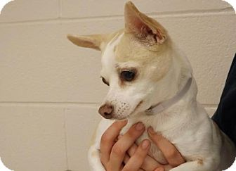 Chihuahua Dog for adoption in Batavia, Ohio - Diamond