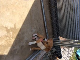 Beagle/Collie Mix Puppy for adoption in Melbourne, Arkansas - Little Man