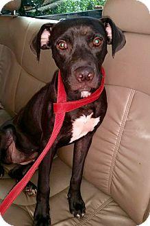 Labrador Retriever Mix Dog for adoption in Media, Pennsylvania - DAISY DOO