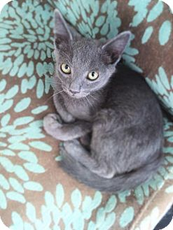 Russian Blue Kitten for adoption in Corona, California - SLATER