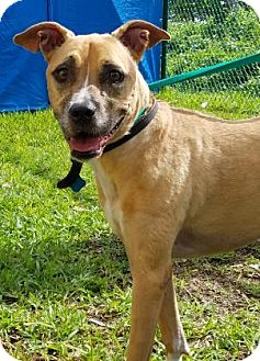 American Bulldog Mix Dog for adoption in Miami, Florida - Juno