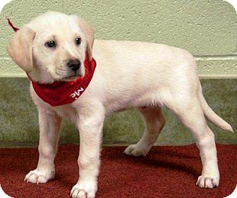 Labrador Retriever Puppy for adoption in Ada, Oklahoma - BUNNIE