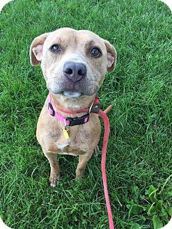 Terrier (Unknown Type, Medium)/American Pit Bull Terrier Mix Dog for adoption in Fulton, Missouri - Peaches- Ohio