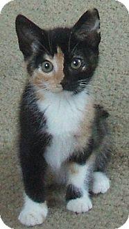 Calico Kitten for adoption in Vacaville, California - Madonna