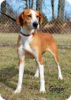 Collie/Hound (Unknown Type) Mix Dog for adoption in DuQuoin, Illinois - Ginger