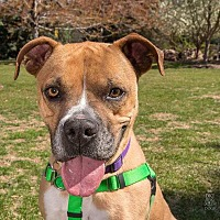 Boxer Dog for adoption in Denver, Colorado - Colt