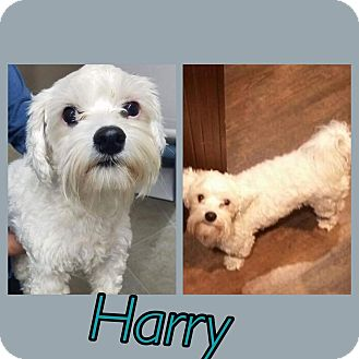 Maltese Mix Dog for adoption in Oxford, Connecticut - Harry