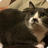 Adopt A Pet :: Chloe - Mansfield, TX
