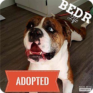 American Bulldog/Boxer Mix Dog for adoption in Regina, Saskatchewan - Quinton