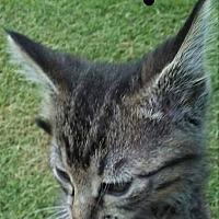 American Shorthair Kitten for adoption in Elgin, Oklahoma - Toby