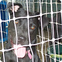 Labrador Retriever/Pit Bull Terrier Mix Dog for adoption in Mexia, Texas - Exotica