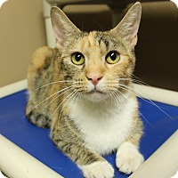 Domestic Shorthair Cat for adoption in Germantown, Tennessee - Calypso