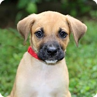 Adopt A Pet :: PUPPY PEPPER - Norfolk, VA