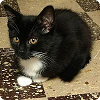 Adopt A Pet :: Bamm-Bamm Rubble - Garden City, MI