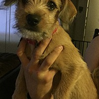 Terrier (Unknown Type, Small) Mix Puppy for adoption in La Puente, California - Penny