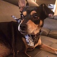 Miniature Pinscher/Chihuahua Mix Dog for adoption in Mesa, Arizona - LOLA 3 YR MIN PIN CHIHUAHUA
