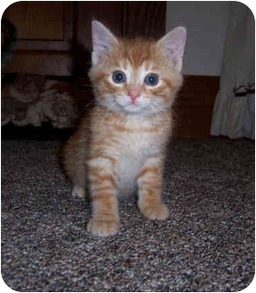 Domestic Shorthair Kitten for adoption in Brighton, Michigan - Paul