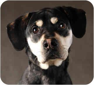 Husky/Labrador Retriever Mix Dog for adoption in Chicago, Illinois - Wyatt