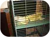 Iguana for adoption in HOUSTON, Texas - GIZMO