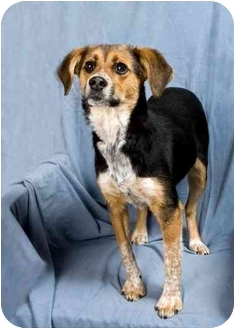 Beagle/Rat Terrier Mix Puppy for adoption in Anna, Illinois - CARMEN