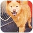 Photo 3 - Chow Chow/Finnish Spitz Mix Dog for adoption in New York, New York - Lady