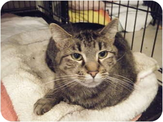 Domestic Shorthair Cat for adoption in Byron Center, Michigan - Mr. Friendly