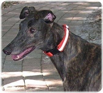 Greyhound Dog for adoption in Harrisburg, Pennsylvania - Anna