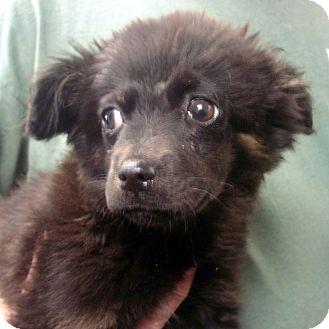 Border Collie Mix Puppy for adoption in Manassas, Virginia - Sheraton