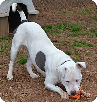 Pit Bull Terrier/American Bulldog Mix Dog for adoption in Athens, Georgia - Lilly
