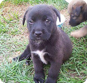 Australian Shepherd/German Shepherd Dog Mix Puppy for adoption in Groton, Massachusetts - Grizzly Bear