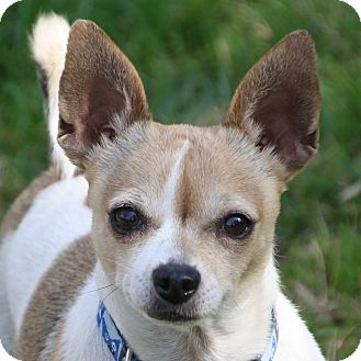 Chihuahua/Terrier (Unknown Type, Small) Mix Dog for adoption in Edmonton, Alberta - Domino