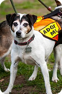 Rat Terrier/Jack Russell Terrier Mix Dog for adoption in Freeport, New York - Chubby