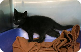 Domestic Shorthair Kitten for adoption in Geneseo, Illinois - Gatsby
