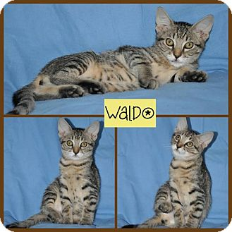 Domestic Shorthair Kitten for adoption in Allentown, Pennsylvania - Waldo