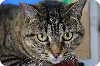 Domestic Shorthair Cat for adoption in Bradenton, Florida - Tori
