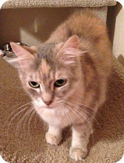Manx Cat for adoption in Putnam Hall, Florida - Fig